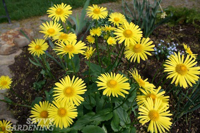 Early blooming perennials 10 favorites for your garden leopards bane mightylinksfo