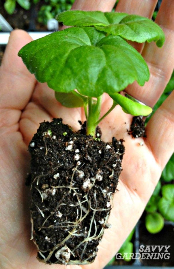 Repotting seedlings 101