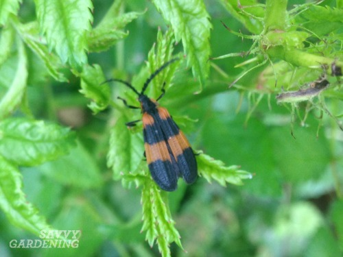 Banded net winged beetle