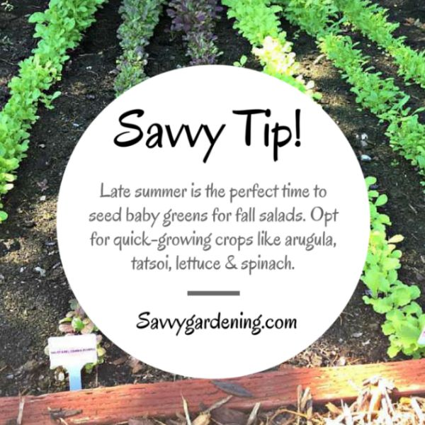 Savvy Tip: Baby greens for fall