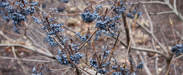 Berries are one of the reasons not to clean up the garden.