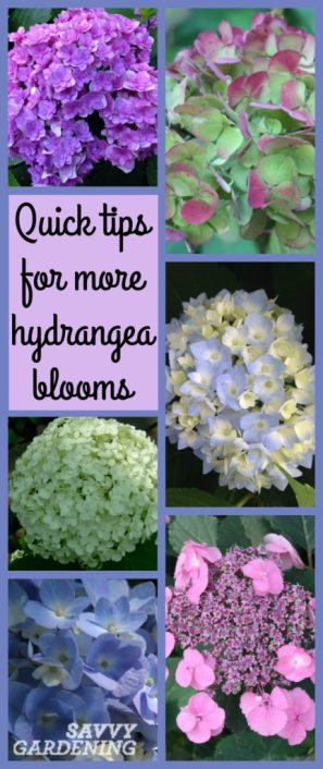 Use these quick tips to get more blooms from your hydrangeas.