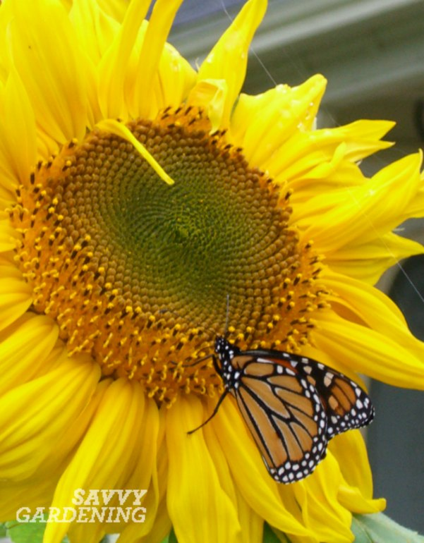 Four flowers for the vegetable garden cheerful sunflowers entice bees butterflies and good buggies mightylinksfo