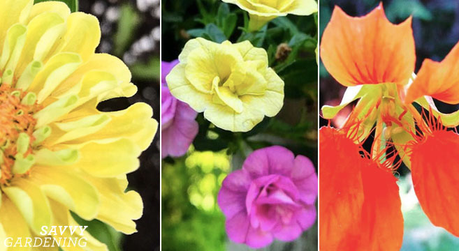 Interesting annuals with beautiful blooms to add to your containers, borders, and raised beds for visual interest—and for the pollinators to enjoy!
