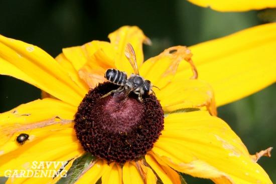 leaf cutter bee, spring garden clean up