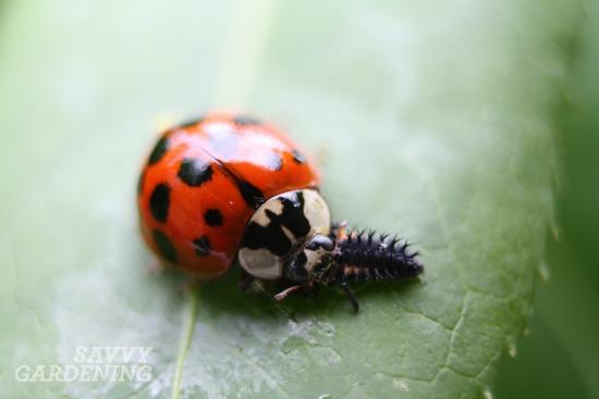 Asian multicolored ladybug