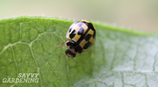Many garden friendly bugs can be found in your backyard.