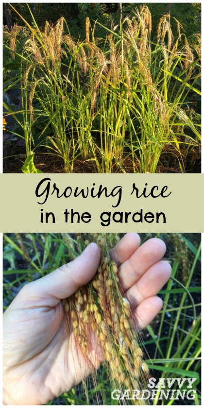 Want something unique for your veggie garden? How about growing rice? It's easy and beautiful!