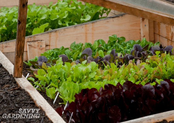 Vegetables in a cold frame