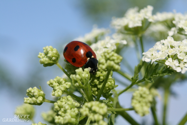 Beneficial insects are great at preventing pest outbreaks.