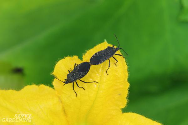 Prevent squash bugs by choosing resistant varieties.
