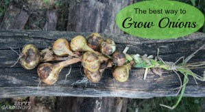 the best way to grow onions is by planting onion seeds
