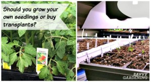 Should you grow your own seeds or just buy transplants from your local nursery?