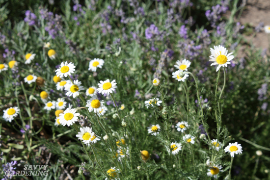 Chamomile is a good choice for homemade herbal tea blends.