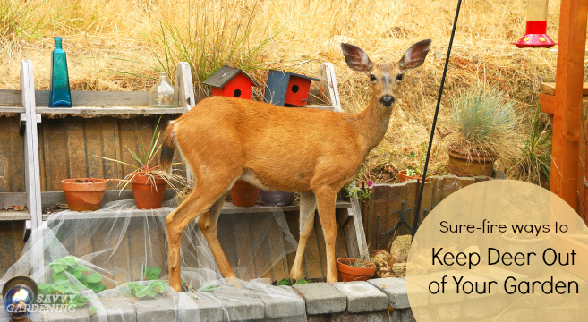 Deer proof gardens are a challenge for sure, but you can use these four tips to keep Bambi out of the garden.