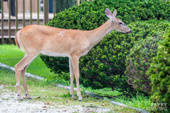 Use motion-activated sprinklers to deter deer.