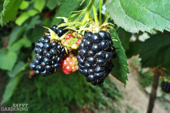 Learn how to grow blackberries, blueberries, raspberries, and strawberries in a small space fruit garden.