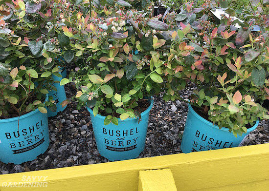 Grow berries in containers for a delicious harvest.