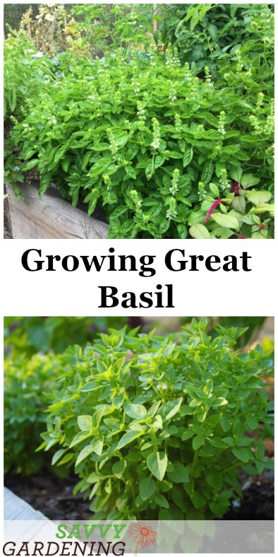 Growing Great Basil: Learn how to plant, grow and harvest homegrown basil.