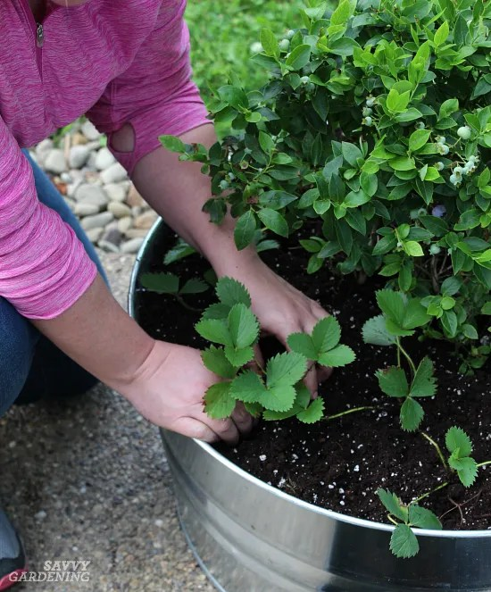 Growing berries in containers: How to pick the right varieties, plant them properly, and care for them.