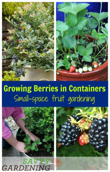 Growing berries in containers is the perfect way to have a small-space fruit garden. Learn about the best varieties of blueberries, blackberries, and raspberries for pots. (AD)