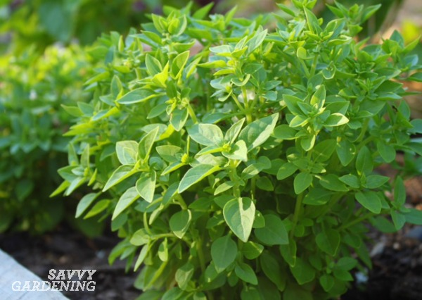 Growing basil is easy with these tips.