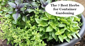 Learn the seven best herbs for container gardening