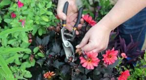 container garden maintenance - deadheading