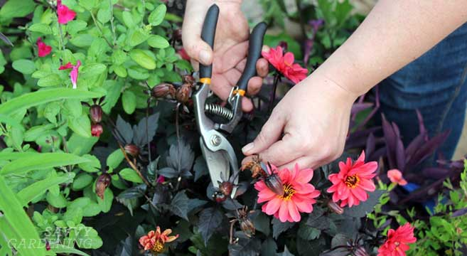 container garden maintenance - deadheading
