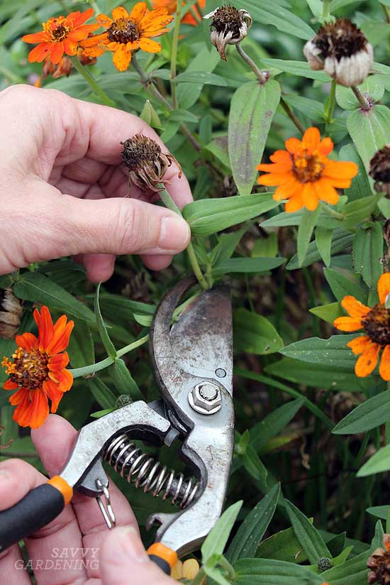 Container garden maintenance tips: Deadhead spent blooms
