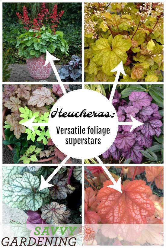 Heucheras: Versatile foliage superstars