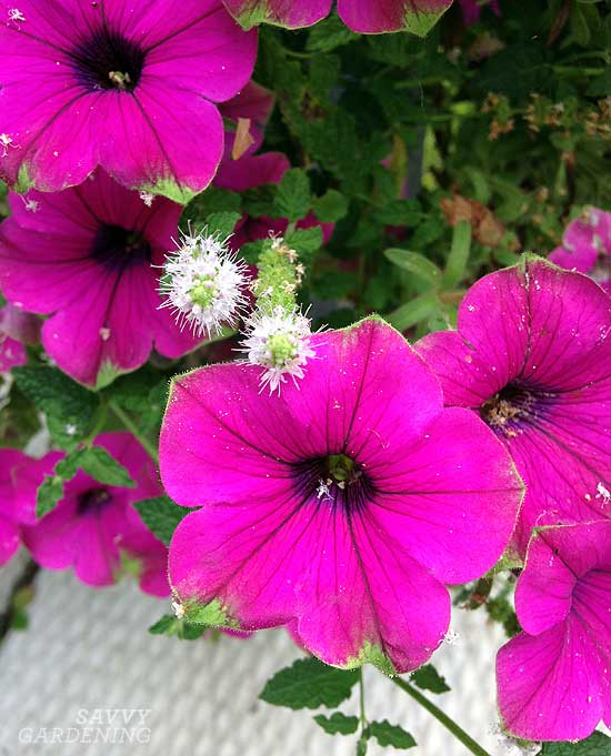 Petunias and mint, a pretty container garden combination.
