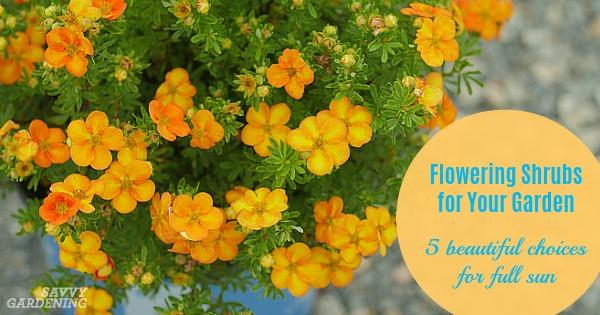 Flowering shrubs for your garden 5 beauties for full sun mightylinksfo