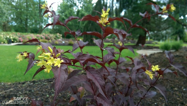 Full sun gardeners have lots of choices when it comes to flowering shrubs for their landscapes.