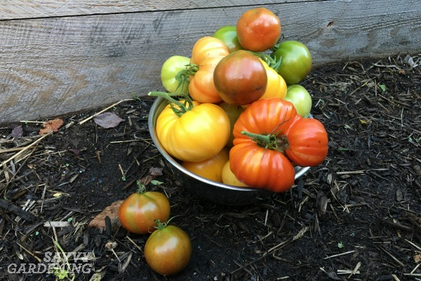 Find out when and how to pick your homegrown vegetables.