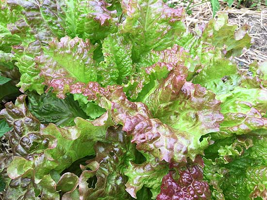 Sow Vulcan lettuce in August as part of your summer succession planting plan