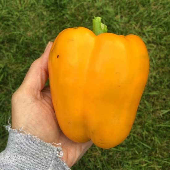Burpee Gold Standard Pepper