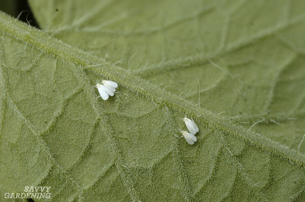 Vegetable garden pests include whiteflies and many others.