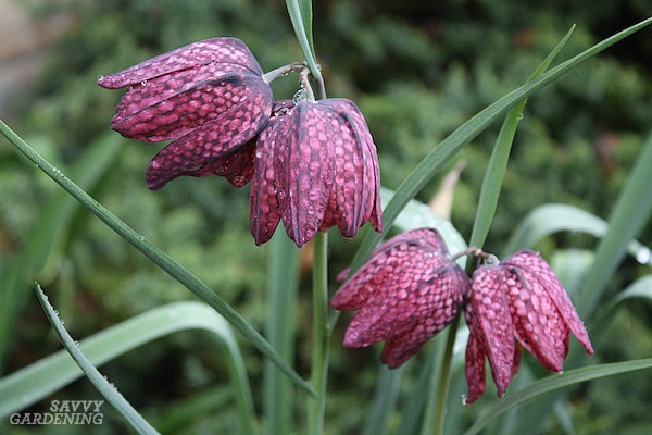Unusual flower bulbs for the garden include checkered lilies, or snakes-head fritillary.