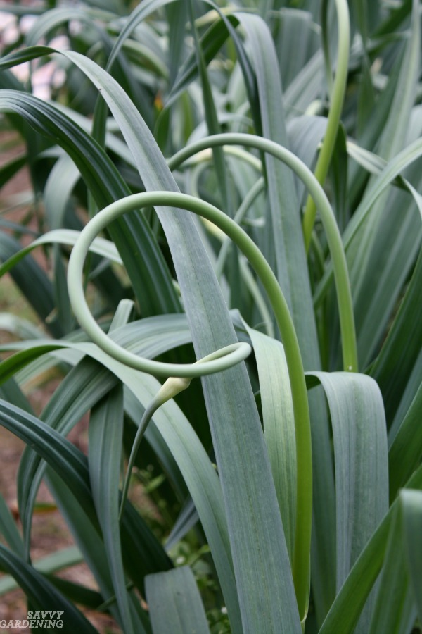 The difference between hardneck and softneck garlic and how to plant them both.