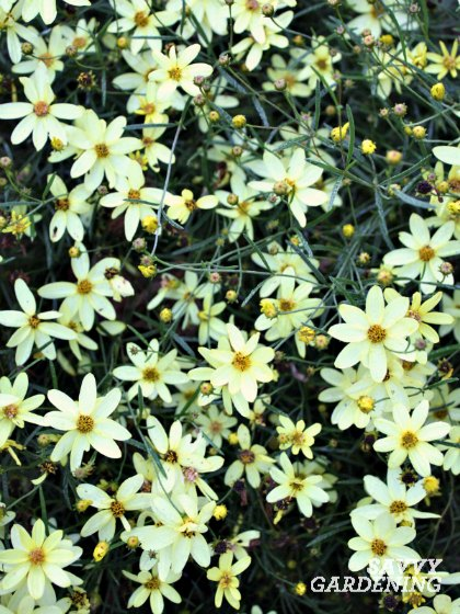 Moonbeam coreopsis is very easy to grow and attractive to butterflies.