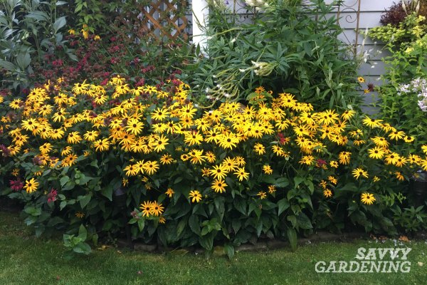 Rudbeckia Goldsturm is a long flowering perennial.