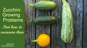 Zucchini growing problems strike every gardener. Learn how to overcome them.