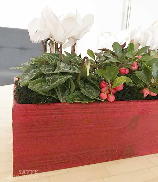 Mini cyclamen and winterberry - closeup of a holiday arrangement