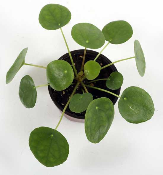 Pilea houseplant