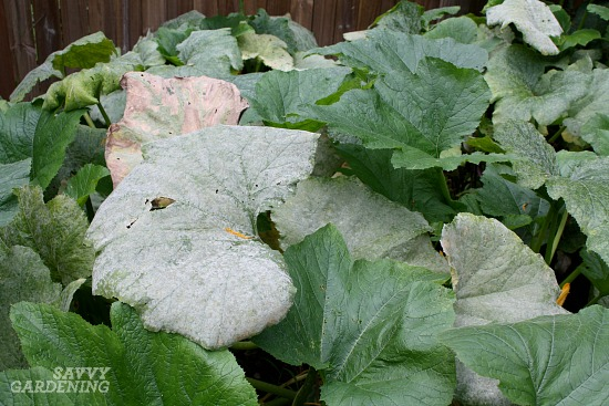 Powdery mildew is a difficult zucchini growing problem to tackle.