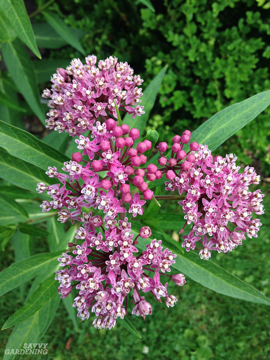 Swamp milkweed is an excellent monarch butterfly host plant.
