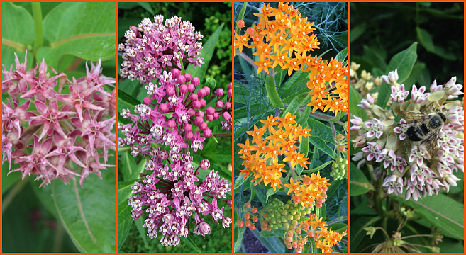 The Monarch Butterfly Host Plant Milkweeds And How To Grow Them