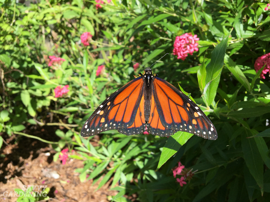 Planting milkweed host plants for monarchs.