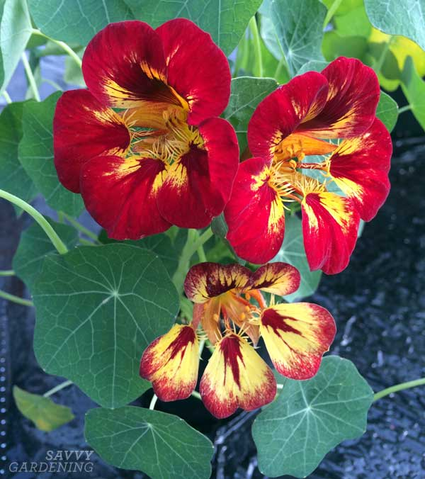 Orchid flame nasturtiums